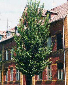 Ulmus hollandica