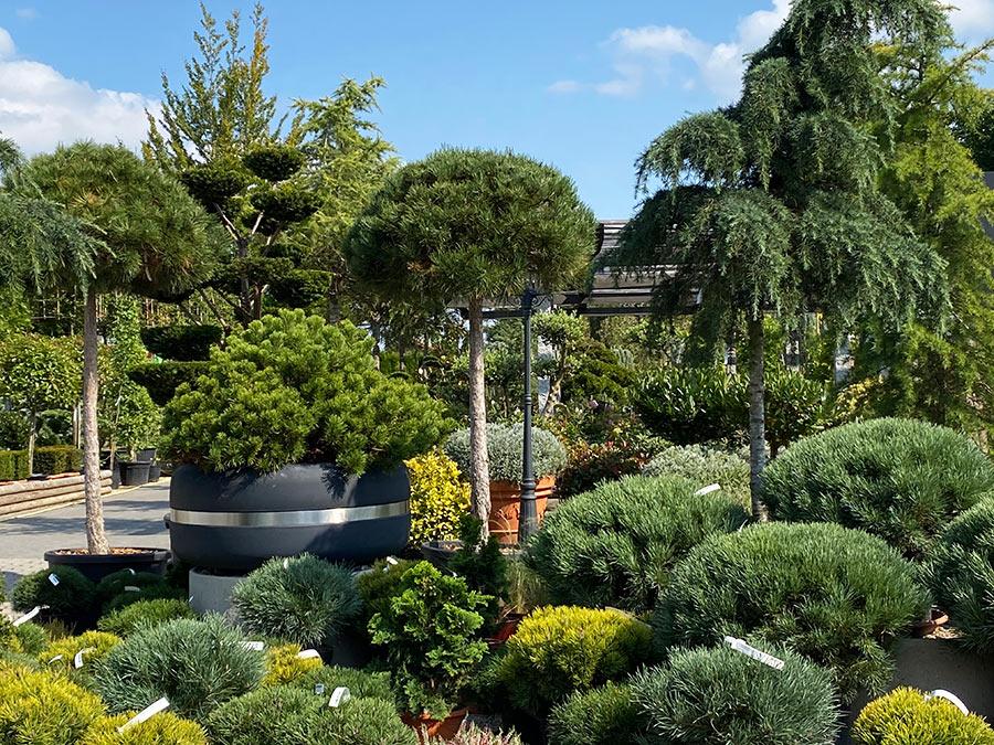 Viele Kiefern in der Gartenwelt vorrätig