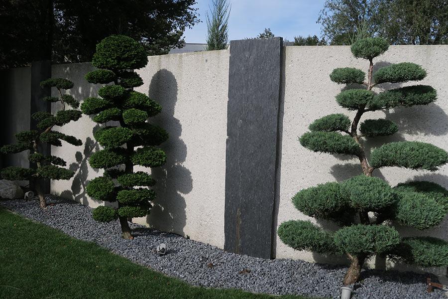 Wacholder Bonsai