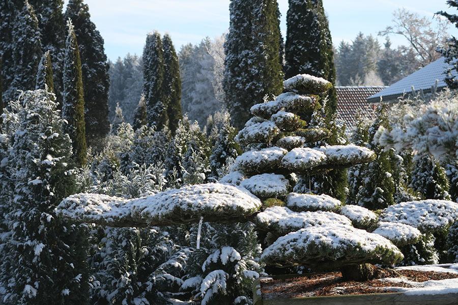 Winter in der Gartenwelt Scheller bei München - Bonsai