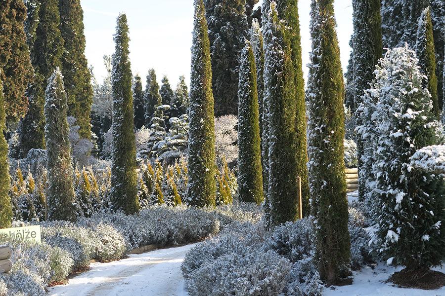 Winter in der Gartenwelt Scheller bei München - Eiben