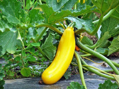 Zucchini aus dem eigenen Garten