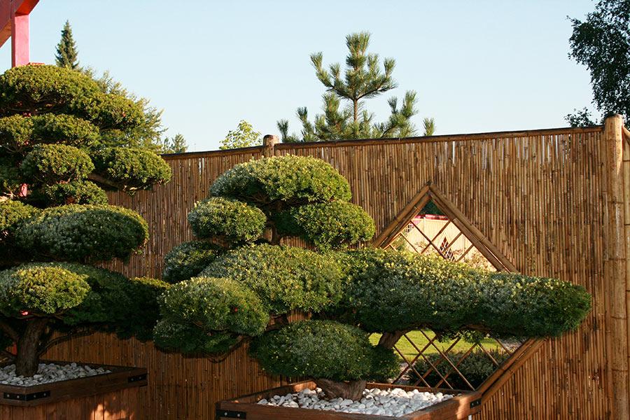 Zwergeiben Bonsai